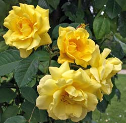 Rosal 'Golden Gate'